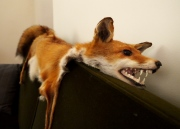 A fox pelt draped over the sofa